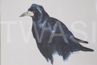 'Rook' by David Knight Watercolour Mounted 46 x 40 £175