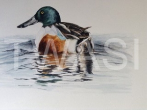 'Shoveler Drake' by David Knight Watercolour Mounted 38x34 £175