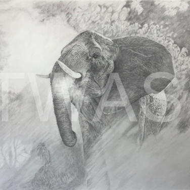 'In the spotlight' by David Skidmore Graphite pencil on Fabriano Artistico 300gsm hot press paper Unframed 62 x 51cm £1250