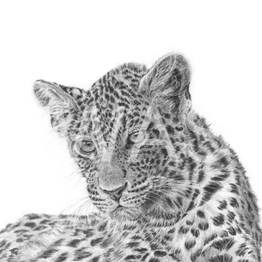 'Leopard cub 2' by David Skidmore Graphite pencil on Fabriano Artistico 300gsm hot press paper Unframed 26 x 26cm £395