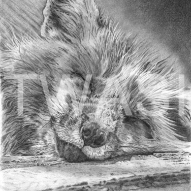 'Sweet Dreams' by David Skidmore Graphite pencil on Fabriano Artistico 300gsm hot press paper Unframed 25 x 37cm £395