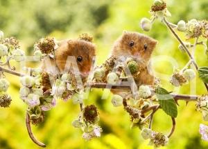 'Harvest Mice' by Vic Sharratt Photograph on Aluminium ready to hang 45 x 30 £65