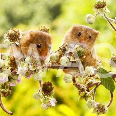 'Harvest Mice' by Vic Sharratt Photograph on Aluminium ready to hang 45 x 30 £65