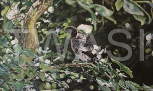 'Blackbird' by Immy Hathaway Acrylic Framed 45 x 63 Unframed 42x 60 £345