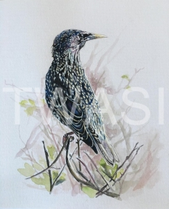 'Starling' by Immy Hathaway Watercolour and gouache Unframed 22 x 30 £115