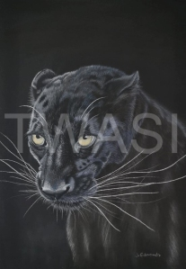 'Night Stalker' by Jacqueline Edmonds Pastel Unframed (Mounted) 40 X 50 £275