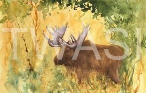 'Bull Moose Yellowstone Park' by Jan Watts Unframed watercolour 37 x 26 £240