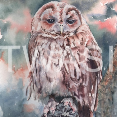 'Tawny Owl' by Jennifer Horn Watercolour Framed 33 x 43 £180