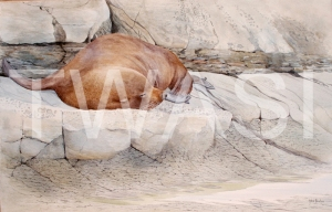 'Resting New Zealand fur seal – Kaikoura' by John Horton Framed 90 x 67 Watercolour £495