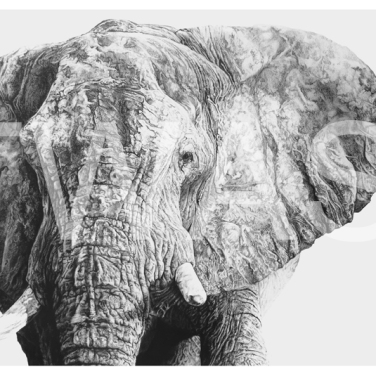 'Majestic' by Jordan Price Graphite Pencil Unframed 40 x 25cm £695