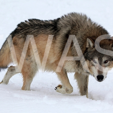'Wolf Leader of the Pack Wolf' by Joy Roberts Photograph Unframed 40.5 x 30.5 £25