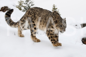 'Making Tracks Snow Leopard' by Joy Roberts Photograph Unframed 40.5 x 30.5 £25