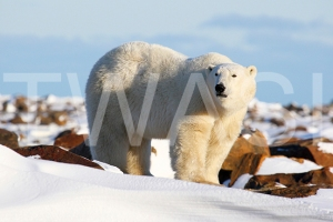 'On Top of The World Polar Bear' by Joy Roberts Photograph Unframed 40.5 x 30.5 £25