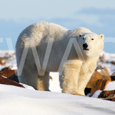 'On Top of The World Polar Bear' by Joy Roberts Photograph Unframed 40.5 x 30.5 £25