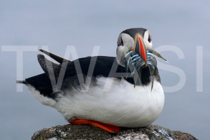 'Parent Returns Puffin Isle May' by Joy Roberts Photograph Unframed 40.5 x 30.5 £25