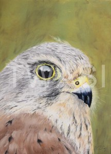 'Kestrel' by Rosemary Gowland Pastel Unframed 28 x20 £175
