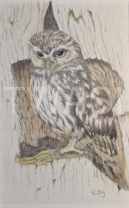 'Little Owl' by Rosemary Gowland Colour Pencils Unframed 20 x 13 £125