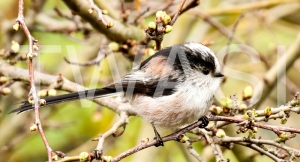 'Long Tailed Tit' study by Vic Sharratt study Photograph on Canvas ready to hang 60 x 30 £100