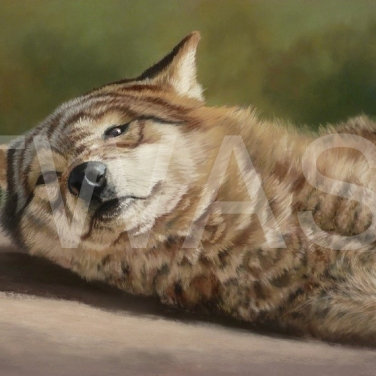 'Gray Wolf 2' by Mark Whittaker Pastel Framed 51 X 61 cm £625