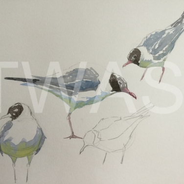 'Black Headed Gull' field study by Martin Gibbons Watercolour Unframed 42 x 30 £250