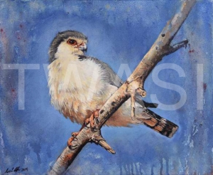 'Pygmy Falcon' by Neal Griffin Oil 32.5 (h) x 38 (w) Framed / 25.5 (h) x 31 (w) unframed £250