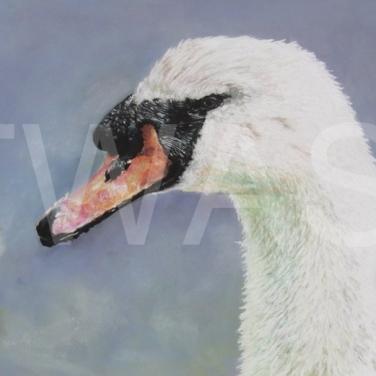 'Mute Swan' by Nick Barker Pastel Framed 83cm x 58cm £750