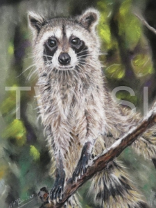 'Racoon' by Nick Barker Pastel Framed 43cm x 51cm £300