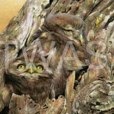 'I'm Next' - Little Owlets on an Almond Tree by Nick Day Mixed pencil on linen board Framed 35x41 £1700