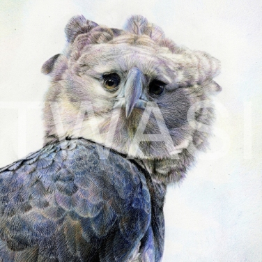'Harpy Eagle Spirit of the Wind' by Nick Day Mixed pencil on linen board Framed 58x44 £2000