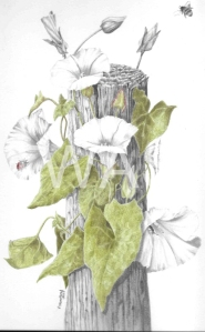 'Bees and Bindwind' by Pauline Thompson Graphite and Coloured Pencil Unframed mounted 30.5 x 40.5 £195
