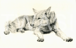 'Reclining Wolf' by Pauline Thompson Graphite Unframed mounted 30.5 x 40.5 £195