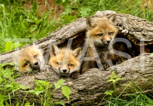 'Tree and Fox Cubs' USA by Vic Sharratt Photograph on Canvas ready to hang 75 x 50 £125