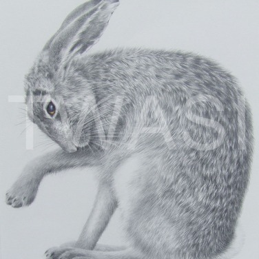 'Not a hare out of place' by Valerie Briggs Graphite, pencil and coloured pencil Mounted and unframed 38 x 35 £275