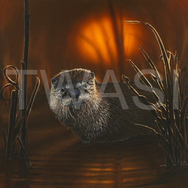 'Sunset Glow - Otter' by Andrea Brun Gouache and Watercolour Framed 59 x 59 £1245