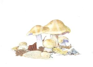 'Cortinarius amoenolens' Blueleg Web Cap by C. M. Jackson-Houlston Watercolour Framed 33.5 x 28.5 £295