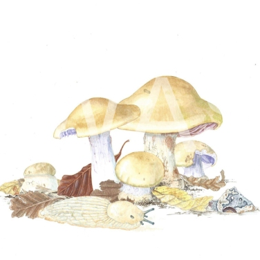 'Cortinarius amoenolens' Blueleg Web Cap by C. M. Jackson-Houlston Watercolour Framed 33.5 x 28.5 £295