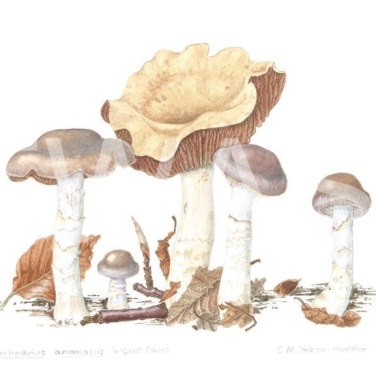 'Cortinarius anomalus' Variable Web Cap by C. M. Jackson-Houlston Watercolour Framed 31.7 x 26.5 £286