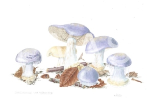 'Cortinarius caerulescens' Mealy Bigfoot Web Cap by C. M. Jackson-Houlston Watercolour Framed 33.5 x 28.5 £295