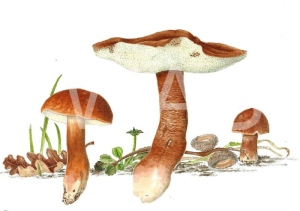 'Gyroporus castaneus' Chestnut Bolete by C. M. Jackson-Houlston Watercolour Unframed 31.7 x 26.5 £286