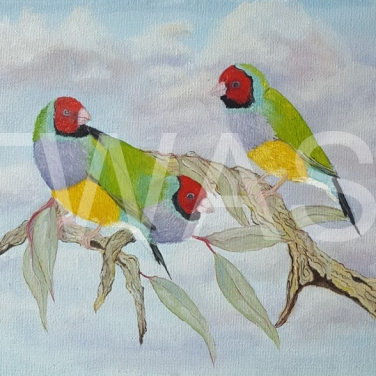 'Going?' Gouldian Finches by Dave Wettner Oil on Canvas 30 x 22.5 £125