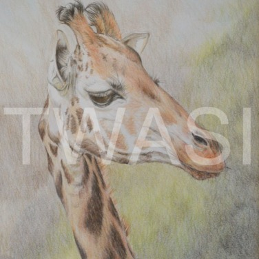 'Imperious' by Frances Sullivan Coloured Pencil Unframed 34 x 40.5 £120