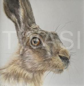 'Hare' by Geraldine Boley Coloured Pencil 30 x 30 cm £125