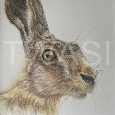 'Hare' by Geraldine Boley Coloured Pencil 30 x 30 cm £125