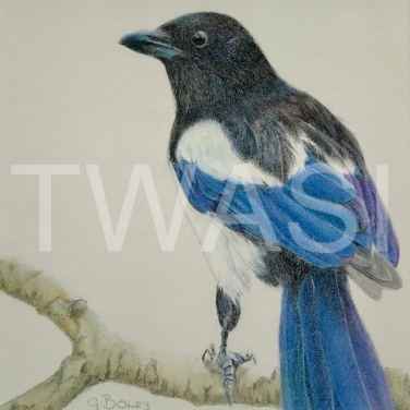 'Magpie' by Geraldine Boley Coloured pencil 30 x 30 £125