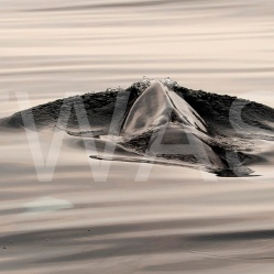 'Making Waves' Minke Whale Isle of Mull by Joy Roberts joy@amur-imaging.co.uk