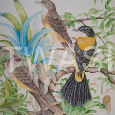'White-Throated Shrike-Tanagers' by Paul Brainch Watercolour 76.2cm x 55.8 £500