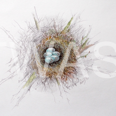 'Bullfinch Nest and Eggs' by Roy Aplin Watercolour and pencil Unframed 30 x 40 £250