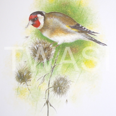 'Goldfinch on Thistle' by Roy Aplin Watercolour and Gouache Framed 50 x 40 £450