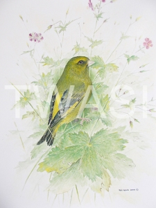 'Greenfinch and Cranes Bill' by Roy Aplin Watercolour and Gouache Framed 50 x 40 £450