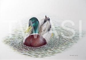 'Mallard' by Roy Aplin Watercolour and Gouache Framed 40 x 50 £400
